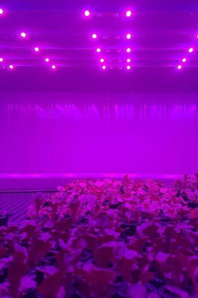 cultivo de alface na pink farms com led de alta potencia na cor rosa