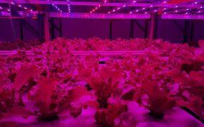 produção de alface da pink farms